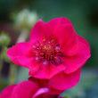 『イチゴの花』