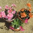 自宅の花 イースターカクタス、スキミアなど