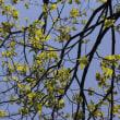 天拝山の樹木(天拝山歴史自然公園)4月 チシャノキ