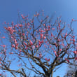 梅の花 2019