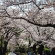「青山霊園・不忍池の桜」/2018春