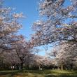 『桜は開花しましたか?』