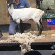 羊の毛狩りショー!早いね、あっと言う間に裸にされちゃいました。また生えて来るからいいよね!