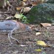 石垣島の野鳥-リュウキュウアカショウビン、ズグロミゾゴイ