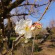 高知城の白梅