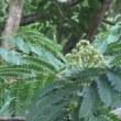 散歩で見た花。(アサガオ、ネムノキ、アベリア)