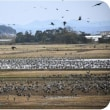 ◇【国内最大!】・・・・ツルの越冬飛来(鹿児島県出水市の出水平野)