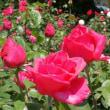 加茂山公園&冬鳥越のバラ見物