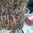 ハオルシア「万象」の鉢増しをしてみた