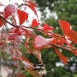 桜はもともと秋咲き?