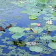 上池のマガモ一家