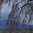 関所破りの桜より浅間山をのぞむ