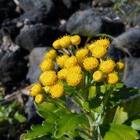 イソギク - 神代植物公園植物多様性センター
