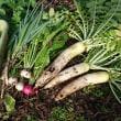 冬野菜 本番です