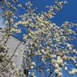 木蓮の花を見ながらルーさんと散歩。