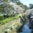 天竺川沿いの桜