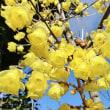 花彩々   素心蝋梅が見頃です