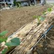 6月の畑 (秋茄子と胡瓜を植える)