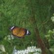 この前の蝶(ツマグロヒョウモン)が友達を連れてきた?