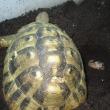 ヒガシヘルマンリクガメ スピード産卵