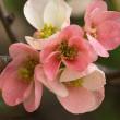 木瓜の花(Ⅶ)