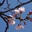 ソメイヨシノ、開花しました