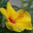 八月の長雨に濡れる庭の花