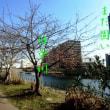 3869・河津桜(旧中川