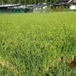 新米の季節、おいしく炊くには/無農薬初霜もあとひと月で稲刈り