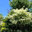 安全なパスワード作成は? 日本語をローマ字に/甘い芳香の白い小花が咲く木。