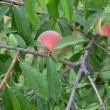桃っておいしい - 無農薬で何とかうまく作りたい -