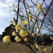 東洋蘭が咲きました