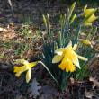 Daffodil 水仙