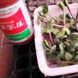 黒豆栽培 苗作り 土中緑化断根摘芯挿し木法のその後
