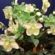 クリスマスローズの世界展で見た花たち