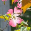 春の庭・・・ハナミズキが咲いています
