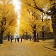東京大学に金色の絨毯が敷かれる頃/2018年初冬
