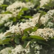★里山でクリンソウやウツギの花など 2018