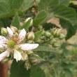 ブラックベリーの開花