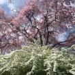 <花見三昧 その1——京都にて>