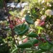 當麻寺西南院の牡丹と珍しい花々