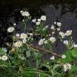 野菊の花がひっそり咲いていて