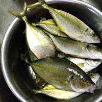 シマアジが大漁
