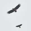 モエレのオジロワシ 4/22 シルエットロマンス 2羽のオジロワシが・・・