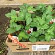 早速追加のイチゴを植え付けました