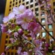 河津桜を頂きました♪