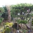 ★庭木の冬支度