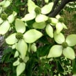 樹木ウォッチング冬から夏へ322ヤマボウシ2
