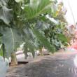 ブロッコリーの収穫最盛期です。