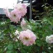 雨の中咲いてます。 バラのブライダルピンク